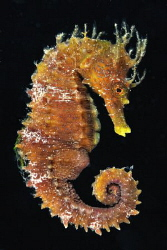 Flying seahorse by Domenico Leonardo 